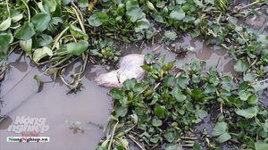 Kiên Giang: Vứt xác heo chết ra môi trường làm lây lan dịch bệnh