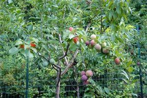 Cận cảnh loài cây mọc 40 quả khác chủng loại