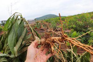 Nhổ 3.000 cây keo của dân, xã hỗ trợ 12 triệu đồng