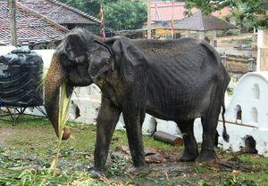 Cụ voi 70 tuổi gầy trơ xương bị bắt đi biểu diễn tại Sri Lanka đã qua đời