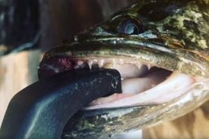 Loài cá chuối khiến người dân Mỹ hoảng sợ
