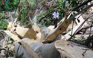 Lâm tặc bỏ chạy không kịp tẩu tán gỗ khỏi rừng tự nhiên Phú Yên