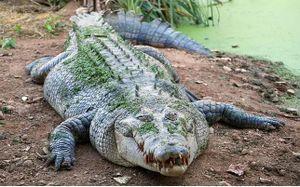 Bé gái 11 tuổi chọc vào mắt cá sấu để cứu bạn thoát chết