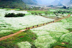 Ngắm mùa hoa cải trắng ở Mộc Châu