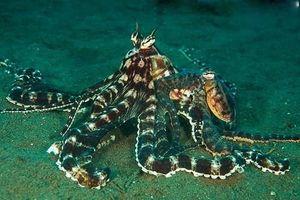 Vì sao bạch tuộc được công nhận là sinh vật quái dị nhất hành tinh