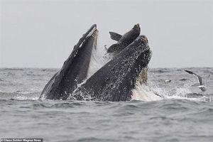 Sư tử biển thoát chết thần kỳ từ miệng cá voi