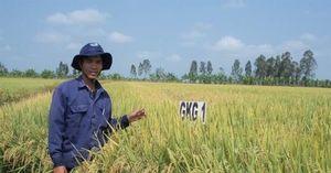 ĐBSCL: Ưu tiên lai tạo các giống lúa thích ứng biến đổi khí hậu