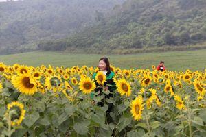 Mở cửa cánh đồng hoa hướng dương rộng nhất Việt Nam