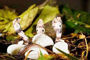 Tới nơi mà các loài rắn đi lại hàng đàn tại Việt Nam