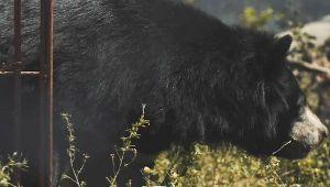 Ác mộng của chú gấu bị chích hút mật