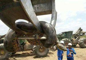 Vì sao gọi trăn Anaconda là 'quái vật' đáng sợ nhất rừng Amazon?