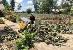 Người trồng dứa ở Hậu Giang gặp khó khi bệnh dịch, giá thu mua sụt giảm
