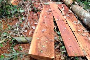 Phát hiện vụ phá rừng lim ở Trường Sơn