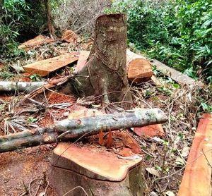 Lại xảy ra phá rừng lim trái phép ở Quảng Bình