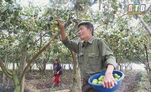 Thái Bình: Làm giàu từ 'táo đào vàng'