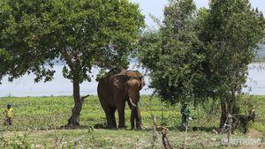 Xác định được tên, tuổi con voi húc chết người ở Đắk Lắk