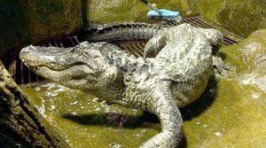 'Cá sấu cưng' của Hitler chết vì tuổi già