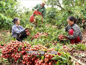 Central Retail sẽ tiêu thụ 1.000 tấn vải thiều Lục Ngạn - Bắc Giang