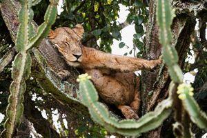 Phát hiện: Sư tử ưa thích loài cây có chứa mủ kịch độc