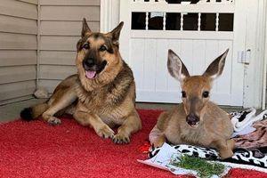 Tình bạn tuyệt vời giữa chó chăn cừu Đức và chú hươu bị bỏ rơi