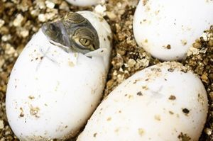 Cá sấu con mở mắt vào top ảnh động vật đẹp nhất thế giới