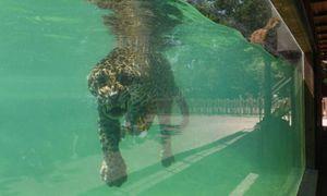 Ảnh động vật: Báo đốm bơi giải nhiệt tránh nắng nóng ở Pháp