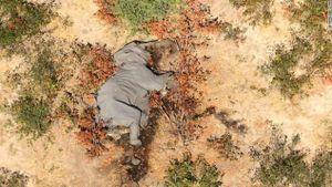 Điều tra nguyên nhân gây ra cái chết bí ẩn của những con voi ở Botswana