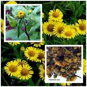 Toàn phúc hoa - thuốc tiêu viêm bình suyễn