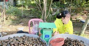 Ốc đồng Campuchia đầu mùa lũ vào nhà hàng giá 180.000 đồng/kg nhưng không đủ bán
