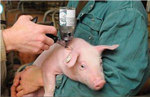Bước tiến mới trong nghiên cứu vacxin tả lợn châu Phi
