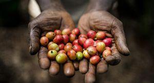Ngành cà phê của Kenya lao đao vì các băng nhóm trộm cướp