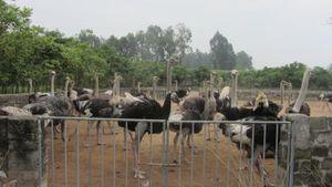 Hưng Yên: Nuôi đà điểu thương phẩm