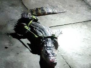 Cà Mau tăng cường quản lý cơ sở gây nuôi động vật hoang dã sau khi phát hiện cá sấu sổng chuồng