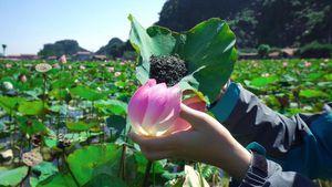Du khách thích thú với trà, ẩm thực từ sen tươi giữa mùa Đông ở Ninh Bình