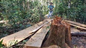 Tỉnh Lâm Đồng chỉ đạo xử lý nghiêm vụ phá rừng Bạch Tùng cổ thụ
