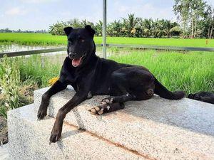 Lạ lùng chú chó 3 năm nằm trên mộ chủ ở Long An