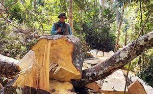 Khởi tố vụ khai thác rừng bạch tùng cổ thụ trái phép tại Lâm Đồng