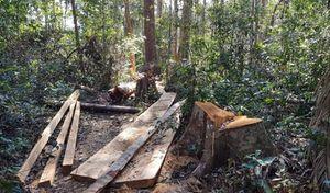 Khởi tố vụ phá rừng Bạch Tùng cổ thụ ở Lâm Đồng