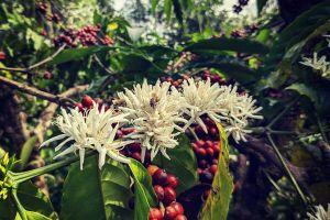 5 yếu tố làm nên cà phê hữu cơ