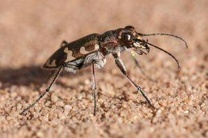 CLIP: Bọ hổ - 'Vận động viên điền kinh' trong thế giới côn trùng