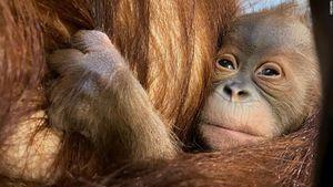 Đười ươi quý hiếm Sumatra chào đời tại Bỉ