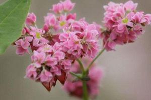 Kỹ thuật trồng hoa tam giác mạch lung linh như ở vùng cao Tây Bắc