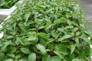 Kỹ thuật trồng cây rau đay xanh tốt trong thùng xốp