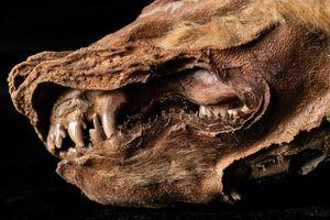Xác ướp chó sói nằm trong băng vĩnh cửu 57.000 năm