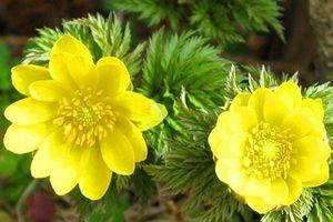 Kỹ thuật trồng hoa cỏ phúc thọ quanh nhà đẹp dịu dàng đón nắng
