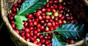 Giá cà phê hôm nay 14/1/2021: Quay đầu tăng mạnh