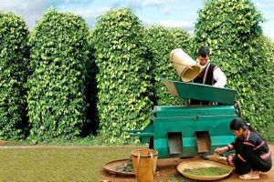 Giá cà phê hôm nay 14/1 giảm về mức 31.300 đồng/kg