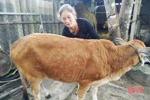 Vì sao bệnh viêm da nổi cục trên bò lan rộng ở Lộc Hà?