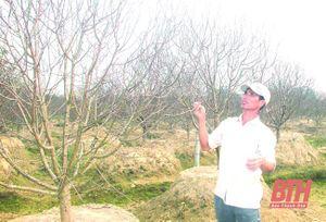 Vùng đào Quảng Chính tất bật cho vụ tết