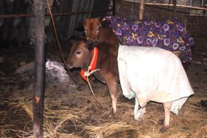 Chủ động phòng chống đói rét cho gia súc, gia cầm